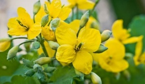 celandine for the treatment of foot fungus